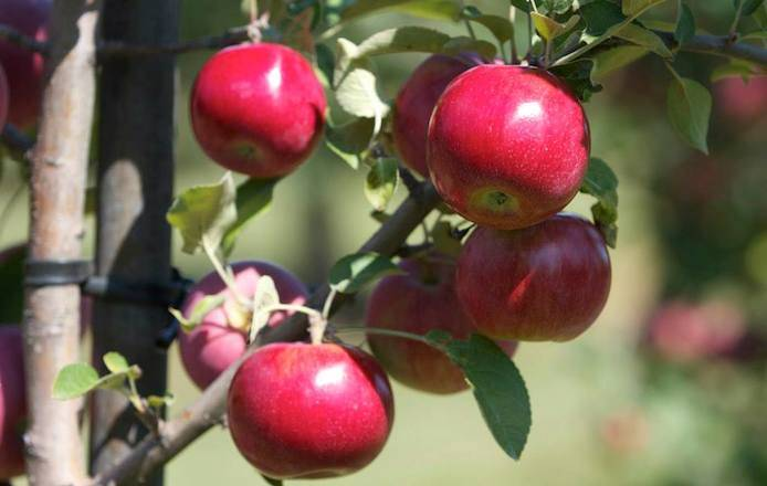 Albion Orchards