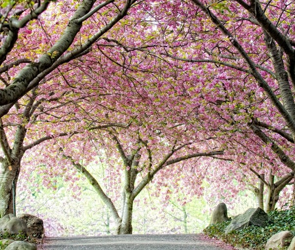 Cherry Esplanade at Brooklyn Botanic Garden. Photo by Antonio M. Rosario. Courtesy of Brooklyn Botanic Garden.